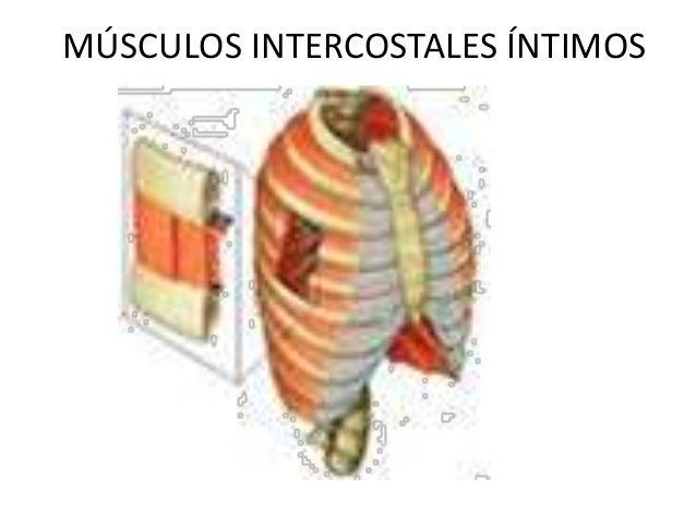 Musculatura dorsal y ventral del tronco