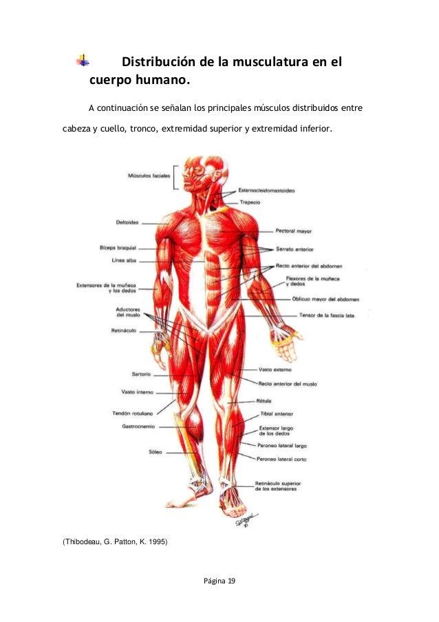 Moderno Mapa De Los Músculos En El Cuerpo Humano Ideas - Anatomía de ...