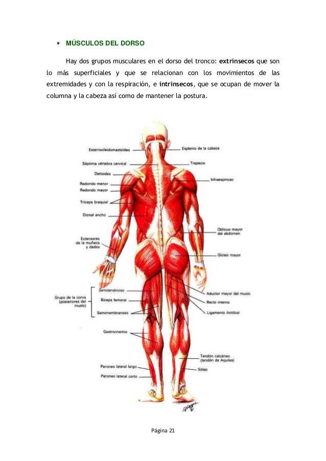 Famoso Grupos Musculares Anatomía Componente - Imágenes de Anatomía ...