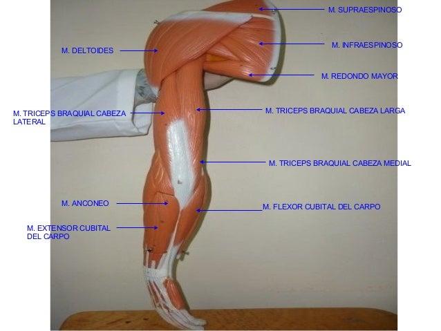 Musculo cabeza y cuello