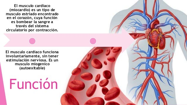 Musculo cardiaco