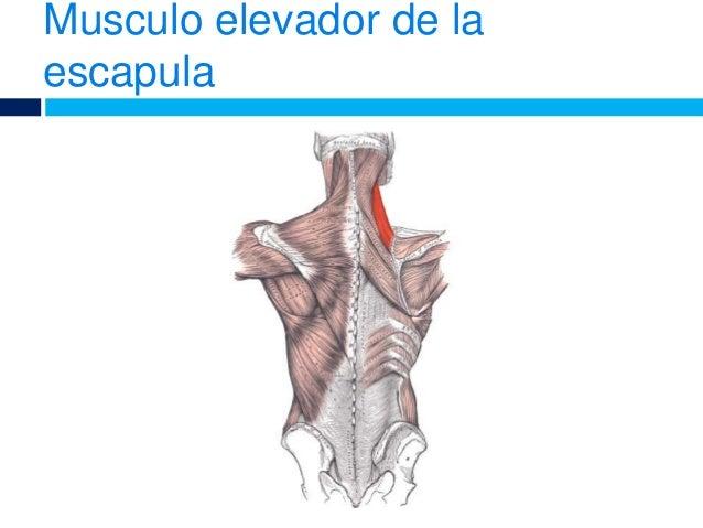 Musculo del dorso