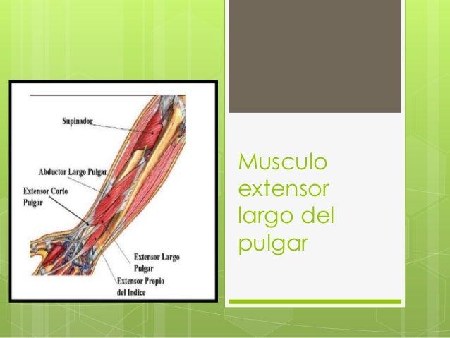 Musculoextensorlargo delpulgar