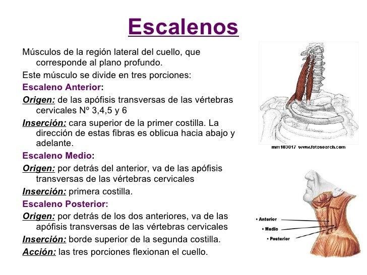 Escalenos Músculos de la región lateral del cuello, que    corresponde al plano profundo. Este músculo se divide en tres p...