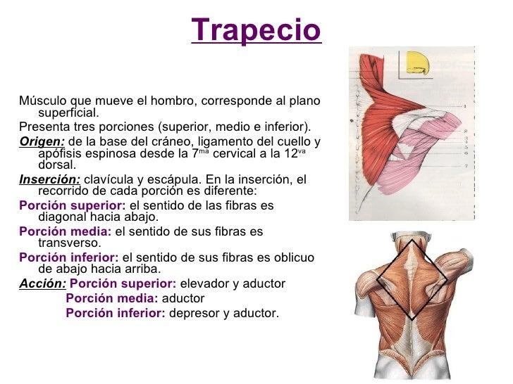 Trapecio  Músculo que mueve el hombro, corresponde al plano    superficial. Presenta tres porciones (superior, medio e inf...