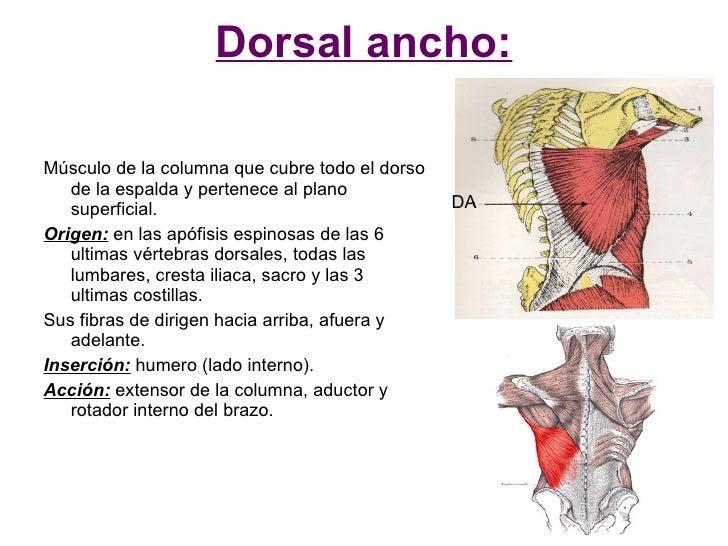 Dorsal ancho:  Músculo de la columna que cubre todo el dorso    de la espalda y pertenece al plano    superficial.        ...