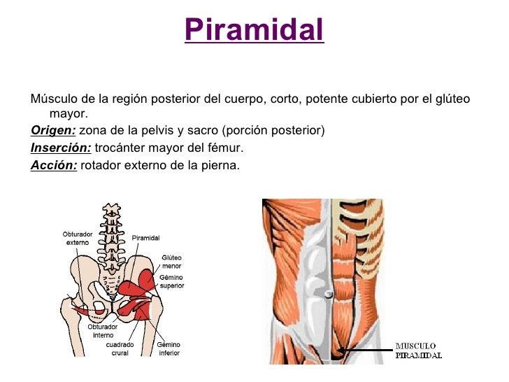 Piramidal  Músculo de la región posterior del cuerpo, corto, potente cubierto por el glúteo    mayor. Origen: zona de la p...