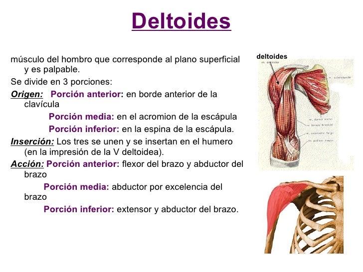 Deltoides músculo del hombro que corresponde al plano superficial     deltoides    y es palpable. Se divide en 3 porciones...