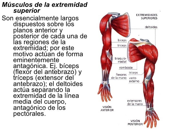 Fantástico Músculos Superiores Del Cuerpo Foto - Anatomía de Las ...