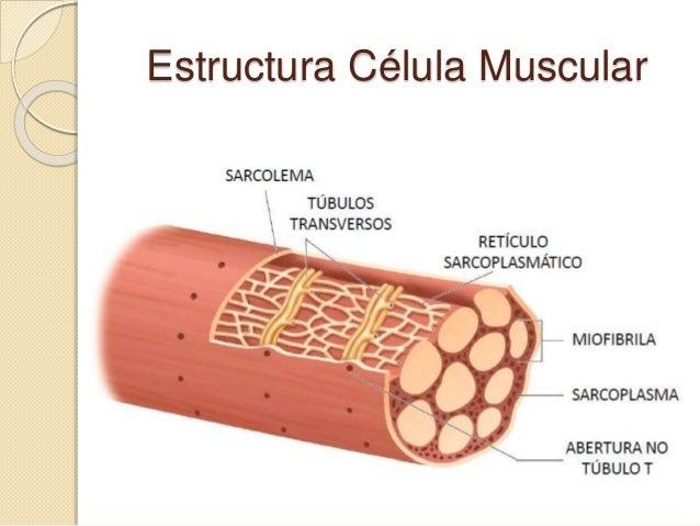 Estructura De Celulas Musculares | BLSE