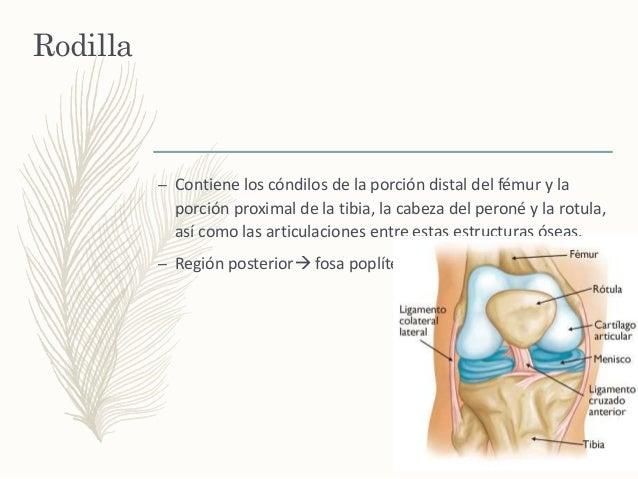 Musculos y articulaciones del Miembro inferior
