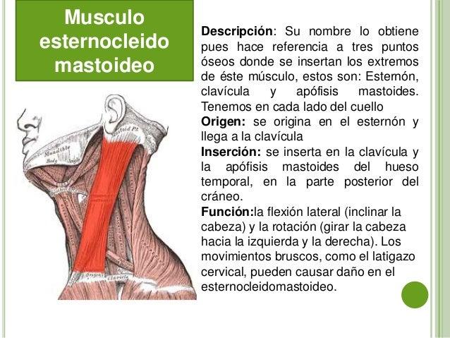 Musculos cuello-y-tronco