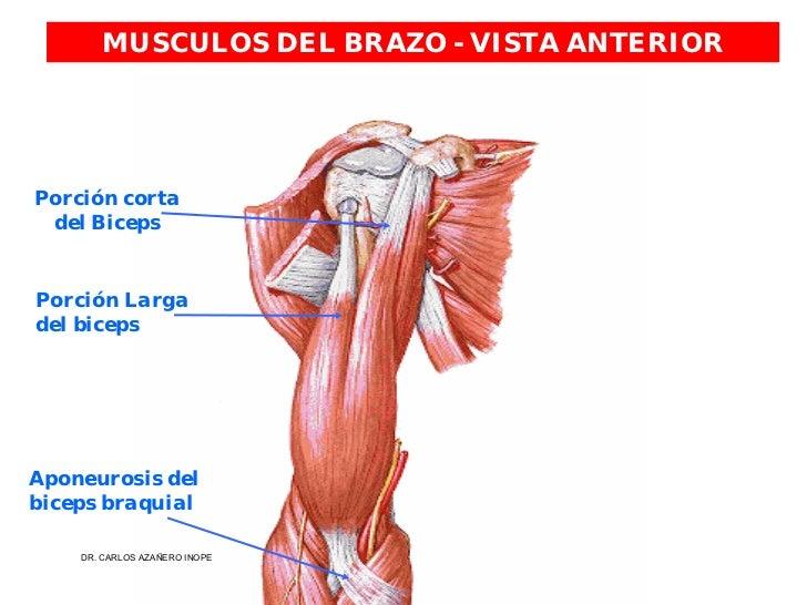 Moderno Músculos Superiores Del Brazo Molde - Anatomía de Las ...