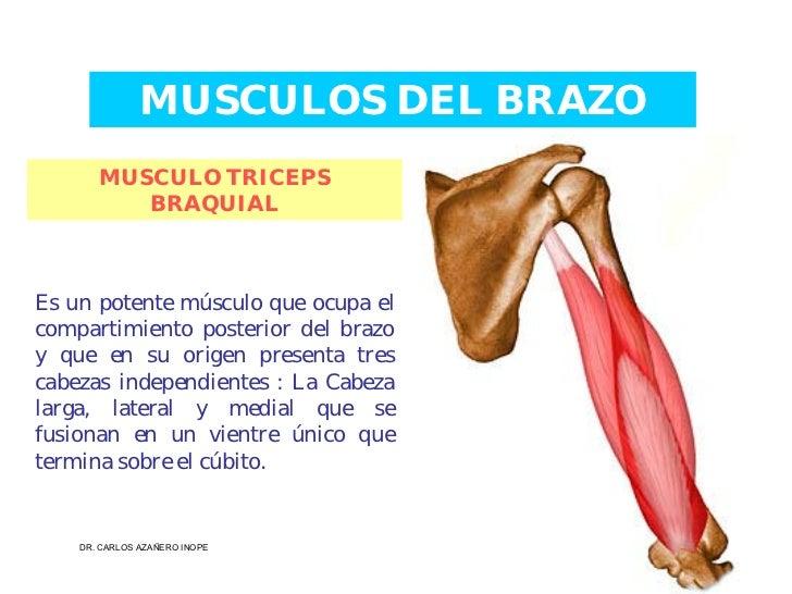 Musculos De La Extremidad Superior