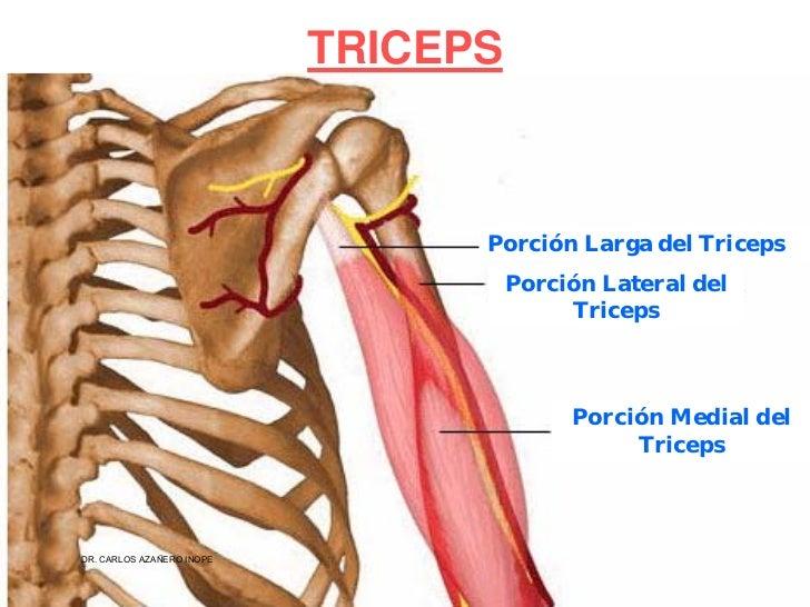 Perfecto Ubicación Músculo Deltoides Imagen - Anatomía de Las ...