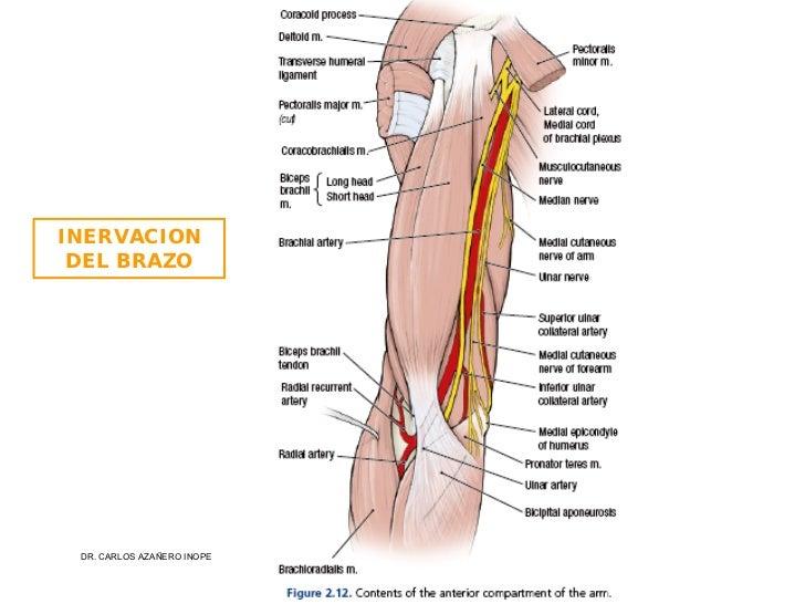 Increíble Los Músculos De La Parte Superior Del Brazo ...