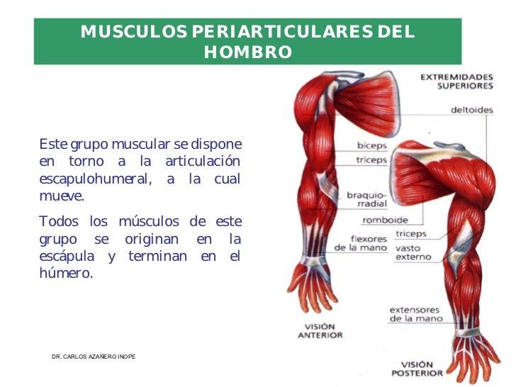 musculos miembro inferior