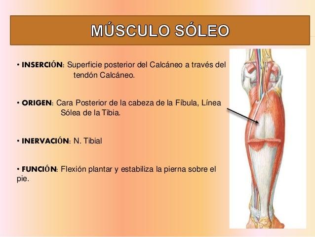 músculo historia