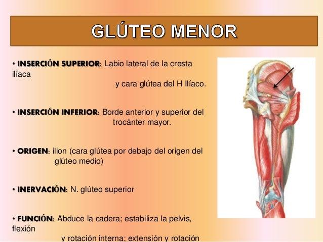 Musculos de-miembro-inferior