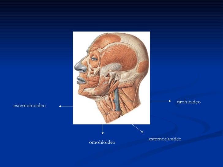Musculos supra e infrahioideos for Esternohioideo y esternotiroideo