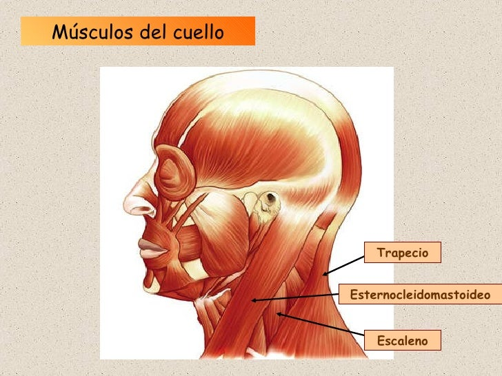 Único Músculos Escalenos Anatomía Friso - Anatomía de Las ...
