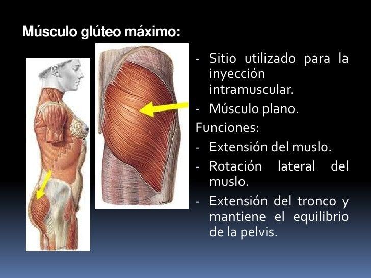 Lujoso Donde Es El Músculo Del Muslo Motivo - Anatomía de Las ...