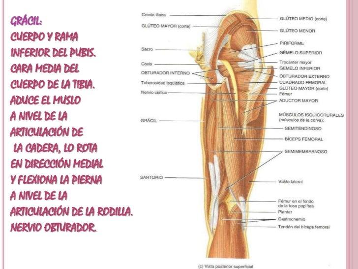 Musculos Abdominopelvicos Y Extremidades Inferiores