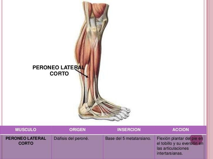 Vistoso La Anatomía Del Tendón Peroneo Largo Bosquejo - Anatomía de ...