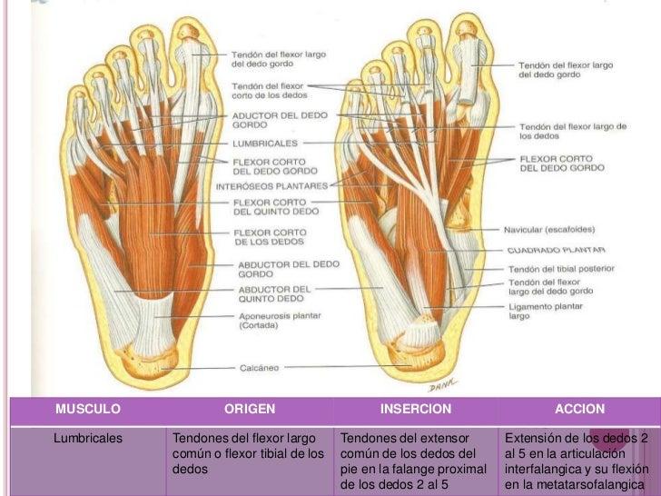 musculos de extremidades inferiores y superioressaywriters