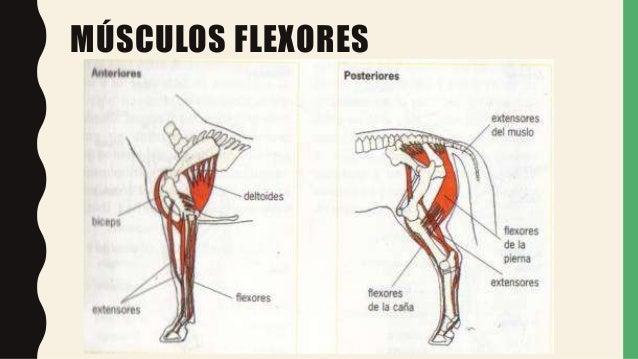 Musculos anatomia