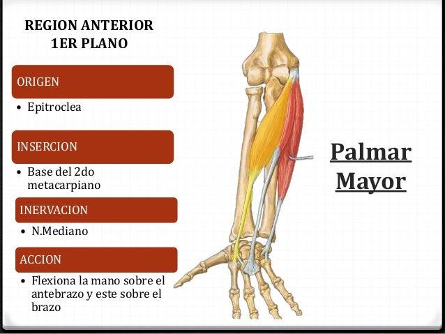 Musculos de Antebrazo