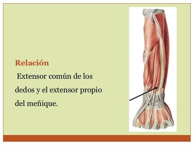 Músculos antebrazo posterior y mano