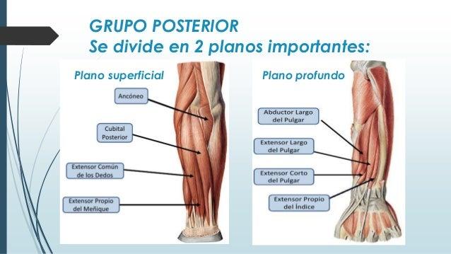 Musculos antebrazos