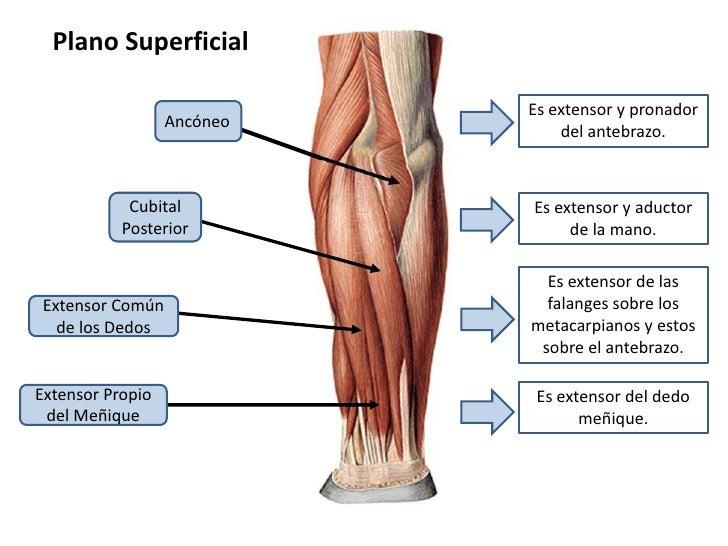 musculos-antebrazo-14-728.jpg?cb=1314407615