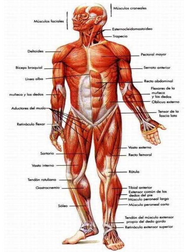 Musculos anterior y posterior