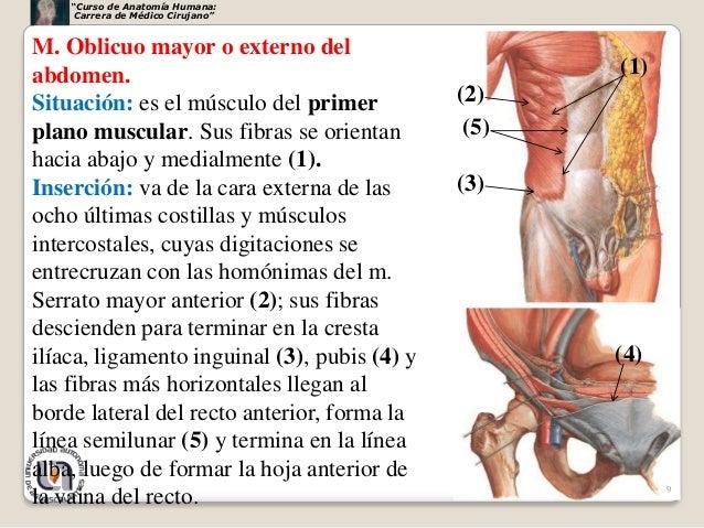 Musculos abdomen