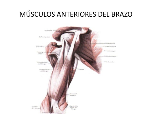 Musculos, aponeurosis miembro superior rouviere