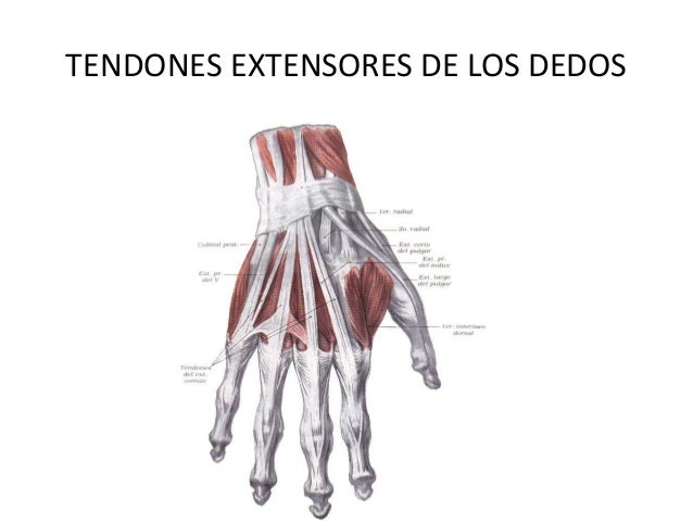 musculos aponeurosis miembro superior rouviere