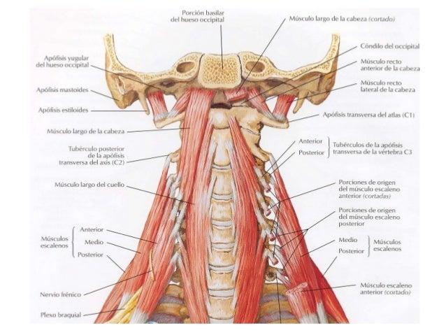 Musculos de cuello