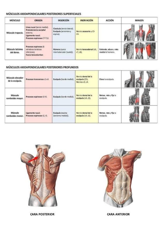 Musculos de el cuerpo humano