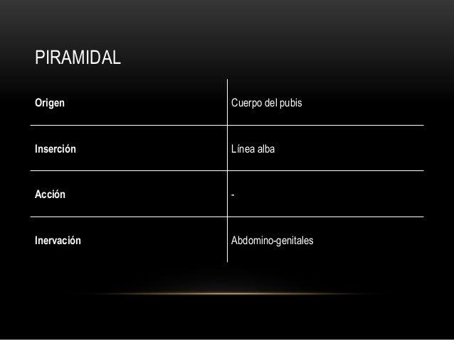 PIRAMIDAL Origen Cuerpo del pubis Inserción Línea alba Acción - Inervación Abdomino-genitales