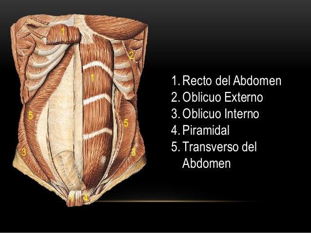 1. Recto del Abdomen 2. Oblicuo Externo 3. Oblicuo Interno 4. Piramidal 5. Transverso del Abdomen 1 5 1 1 5 4 2 33