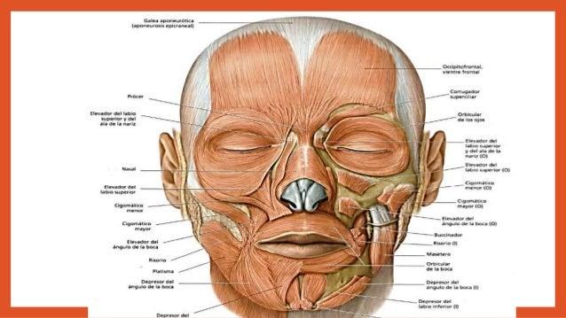 músculo cabeza