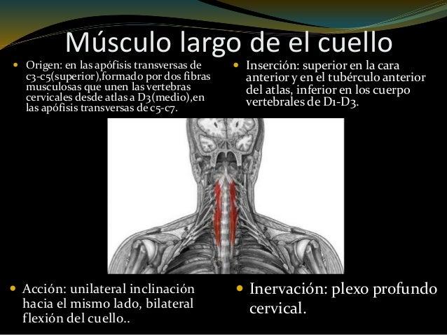 Musculos de la cabeza y cuello