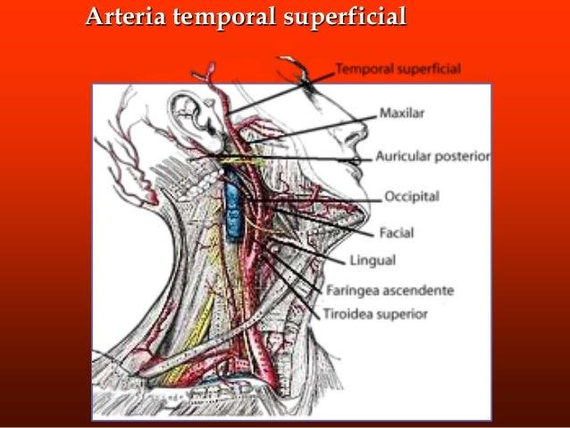 Musculos masticadores • Es un proceso muy complejo y está realizado por 4 unidades musculares: