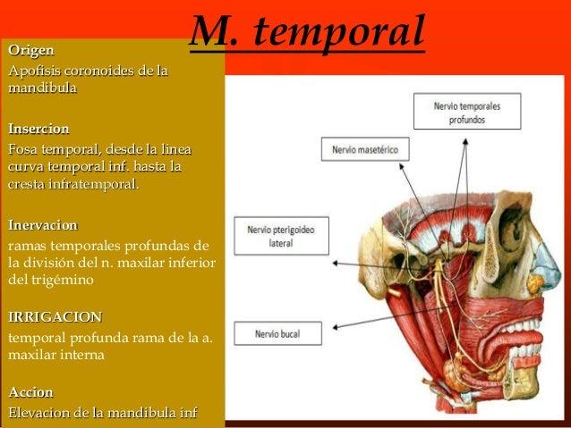 m. Pterigoideo interno Origen • Apof, pterigoides esfenoides Insercion • Cara int. rama ascendente mandibula Accion • Cier...