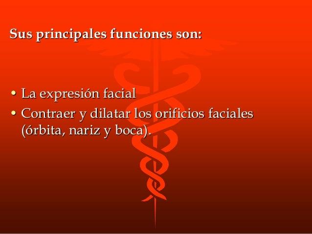 • M. Piramidal de la nariz o prócer: Origen: hueso nasal, y en la porción superior del cartílago nasal lateral Insercion: ...