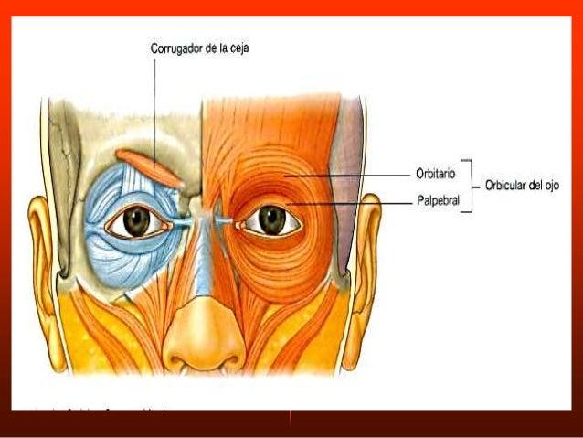 Origen: Músculo triangular, adosado sobre el dorso de la nariz. Inserción: Dorso de la nariz, se dirige al músculo abajo h...