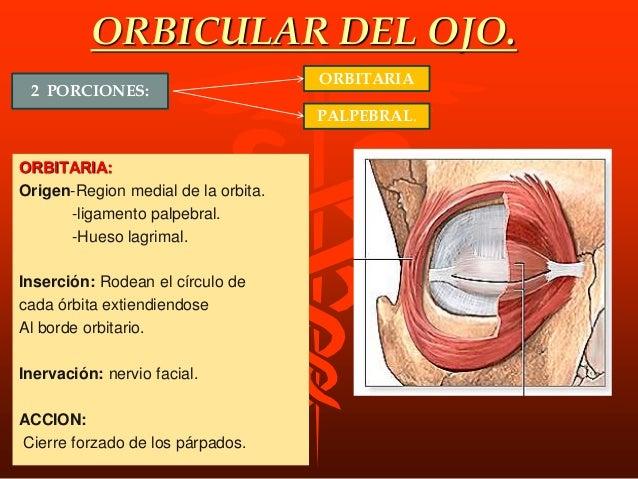 M. Mirtiforme de la Nariz o Depresor del septo o tabique nasal. Origen: Pequeño músculo radiado, por debajo de las abertur...