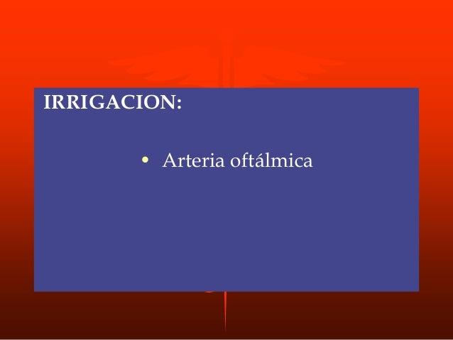 MUSCULO ORBICULAR DE LOS LABIOS O DE LA BOCA ORIGEN: • región del ángulo de la boca y profundidad de la apóf. alveolar del...